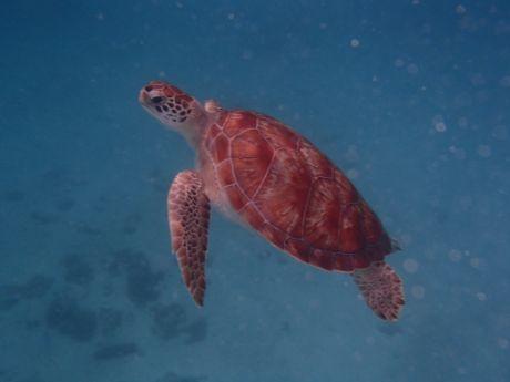 Barbados green sea turtle